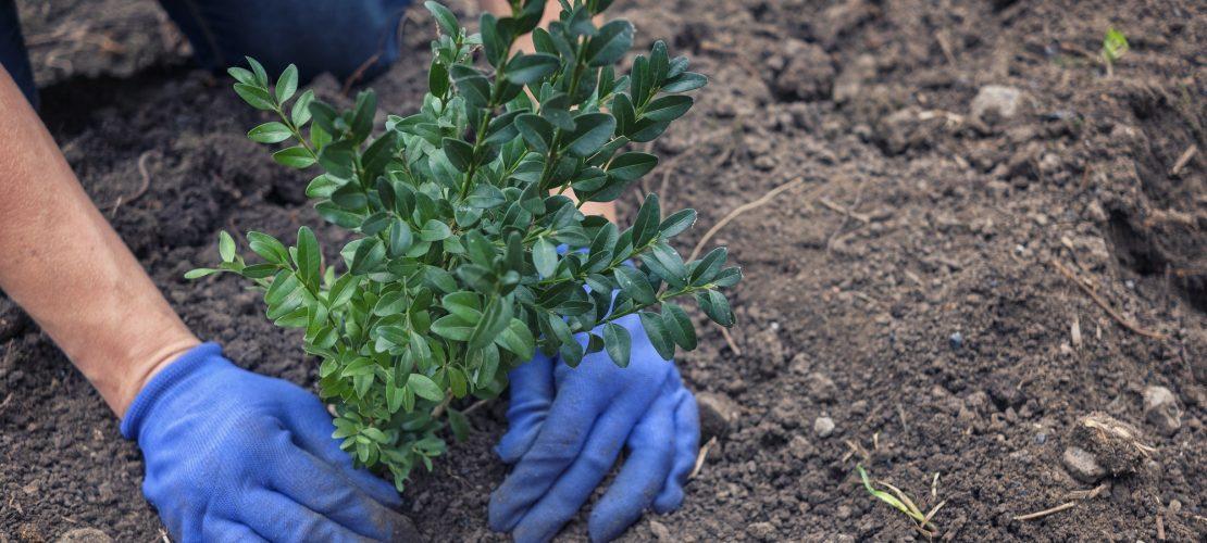 Jardinier plantant un arbuste dans un jardin