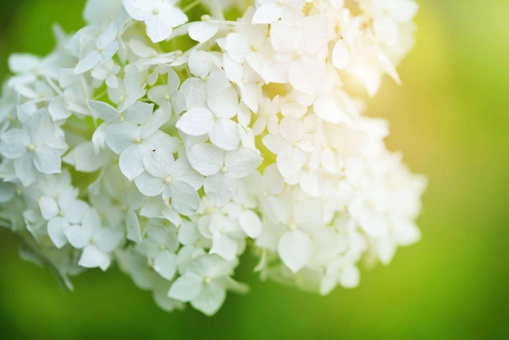 Fleurs d'hortensia blanches, fond floral romantique et tendre.