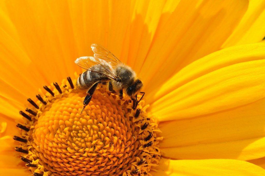 abeille recueil pollen