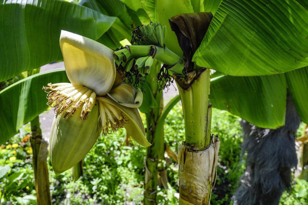 Bananier du Japon en floraison