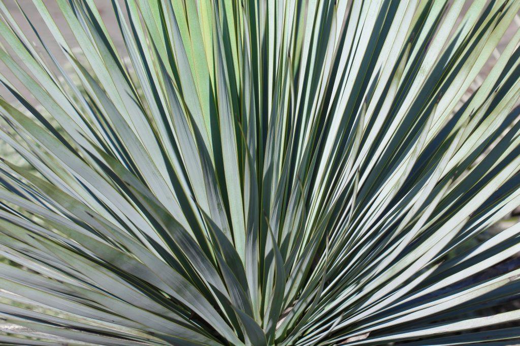 Yucca rostrata est apprécié pour son feuillage bleuté