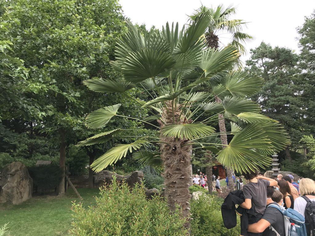 Trachycarpus wagnerianus jardin exotique cultivé au Zoo de Beauval (Loir-et-Cher)